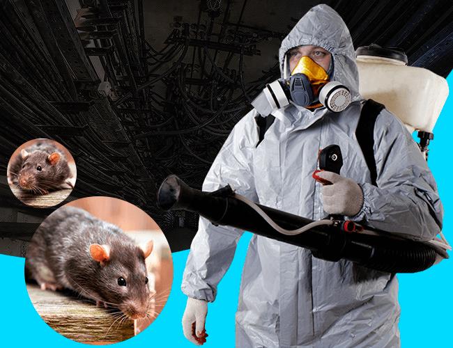 Эффективное уничтожение крыс